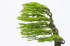 13 Types of Bonsai Trees (by Style and Shape Plus Pictures) Bonsai Tree Types, Bonsai Trees, Bonsai Garden, Garden Plants, Canada Images, Replant, Architecture Tattoo, Funny Art, Terrarium