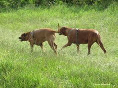 Jodi and Rex prowling around local park.... Breed is  the Rhodesian Ridgeback another name is the African Lion Hound. That name may be intimidating, but it does tell you a lot about this powerful, incredibly loyal hound. As their nickname suggests, they were bred to hunt lions.