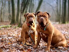 Differences between English, French and Spanish Mastiffs