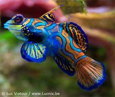 Palau Snorkeling - Mandarin Fish