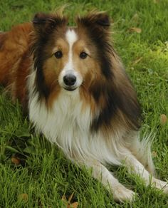 If only there wasn't so much shedding and barking...    <3 Shelties.  Miss my dog.