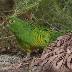 Western ground parrot has been detected in a remote Western Australia nature reserve.