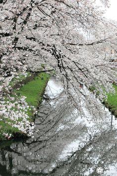 Cerisiers de #Kawagoe sur le rivière Shingashi Miyazaki Film, Tokyo, Sakura, City Photo, Japan, Bullet Journal, Sugar, Main Street, Small Towns