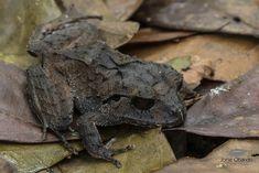 Atlantic Broad-headed Litter Frog (Jorge Obando Gutierrez) Tags: craugastormegacephalus anfibio rana frog craugastoridae amphibia costarica rainforest atlanticbroadheadedlitterfrog