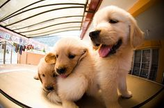 golden retrievers | Tumblr @Tahnee Rozell