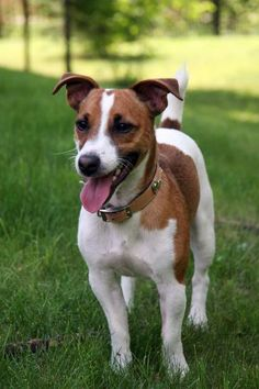 The Jack Russell Terrier is a small terrier that is commonly confused with the Parson Russell Terrier . The Parson Russell Terrier is sh. Pitbull Terrier, Perros Bull Terrier, Chien Bull Terrier, Terrier Puppies, Perros Jack Russell, Jack Russell Puppies, Jack Russell Terriers, Rottweiler Puppies, Beagle