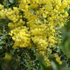 Acacia pravissima - Ovens Wattle | Southern Woods