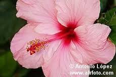 Resultado de imagen para fotos de rosa china