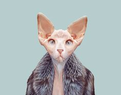 Resultado de imagen de sphynx cat