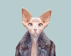 Sphynx-Cat---Felis-Catus-copia