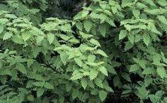 Folhas de Urtiga