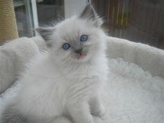 My New #ragdoll Kitten