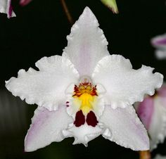 Odontoglossum nobile 'Silk' - Note: Do look for a little blue-eyed yellow cat [?] in the center of the flower!