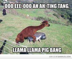 Llama llama pig bang!