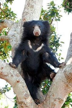 Sloth Bear Standing on Tree Panda, Bear Species, Spectacled Bear, Funny Animals, Cute Animals, Sloth Bear, Power Animal, Honey Bear, Majestic Animals