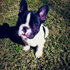 Our new little guy Heston the #french #bulldog