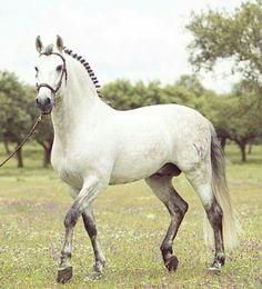 What a fine horse Dapple Grey Horses, White Horses, Most Beautiful Animals, Beautiful Horses, Planeta Animal, Majestic Horse, Horse World, All The Pretty Horses, Draft Horses