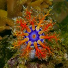 a colorful shot of a purple and orange-colored sea cucumber with its tentacles spread out