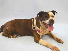 GONE 8-26-2015 --- SUPER URGENT Manhattan Center BEAVER – A1048813  MALE, BR BRINDLE / WHITE, AMERICAN STAFF MIX, 9 yrs STRAY – EVALUATE, NO HOLD Reason STRAY Intake condition EXAM REQ Intake Date 08/22/2015