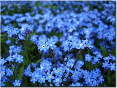 Forget Me Not.  Low growing. Shade loving