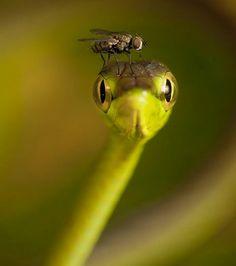 Ahaetulla prasina, serpent des vignes et une petite mouche intrépide...