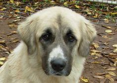 The head is in good proportion with the rest of the body, large and strong, slightly rounded, with a slight stop. The muzzle is often black and is rectangular in shape. The lips are black and hang down slightly; dewlap should not be excessive. Anatolian Shepherd Puppies, Shepherd Dogs, Every Dog Breed, Cute Friends, Mountain Dogs, Working Dogs, Mans Best Friend, Dog Breeds, Cute Dogs