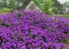 Gracious Groundcovers: Verbena 'Homestead Purple' covers a bank, blooming from spring to frost. Verbena is tolerant of both heat and drought.