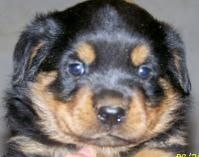 Rottweiler pup.  Possible new family member??