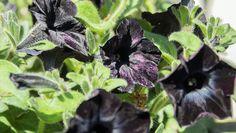 Black Velvet Petunia   Black Pansies http://www.rodalesorganiclife.com/garden/11-super-spooky-plants/black-velvet-petunia-black-pansies