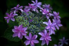 Hydrangea・・愕紫陽花 - null