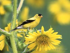 """American Goldfinch on Sunflower/Leaman photos-Why not sow a native wildflower meadow?Many birds enjoy flower seeds-including those of the much maligned Dandelion & Thistle """"weeds""""(a favorite of Goldfinches & Wrens)Not only will seed-eating birds be grateful,but birds that need insect protein as well will be attracted to your mini-meadow.Robins,Red-winged Blackbirds,Catbirds,Mockingbirds,Bluebirds,& many others will be lured there by the butterflies,bees,moths,skippers,&other winged insects…"""