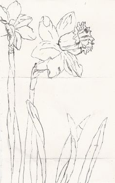daffodil sketch, practice for watercolor with structure.