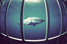 Great White Shark Diving. Number 1 on my bucket list.. Swimming with these beautiful creatures