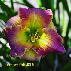 Dashing Paramour