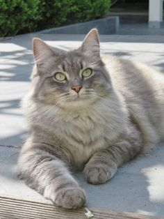 Tabby Cats Fluffy What a beautiful tab - Pretty Cats, Beautiful Cats, Animals Beautiful, Cute Kittens, Cats And Kittens, Tabby Cats, Cool Cats, I Love Cats, Cocker Spaniel