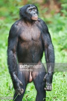 gallery for gt standing chimp
