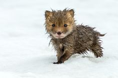 cute wet fox cub photo