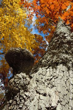"""Categorized as a """"globally endangered ecosystem,"""" Maple Grove Forest Preserve in Downers Grove contains a rare forest made up of remnant maple trees. Forest Preserve, Downers Grove, Maple Tree, Conservation, Preserves, Acre, Woodland, Places To Go, Trail"""