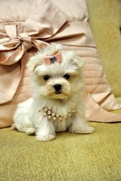 Tiny Teacup Maltese Puppy SOLD Moving to Tennessee! - Adopted Puppies - Cassie's Closet