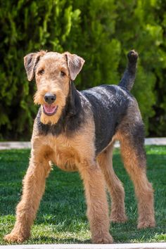 40 Best Medium Sized Dog Breeds - List of Popular Cute Medium Sized Dogs for Families Best Medium Dog Breeds, Best Medium Sized Dogs, Medium Sized Dogs Breeds, Medium Dogs, Dog Breeds That Dont Shed, Terrier Breeds, Terriers, Airedale Terrier, Black Labrador Dog