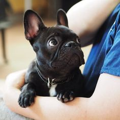 French Bulldog Puppy, too cute. #buldog
