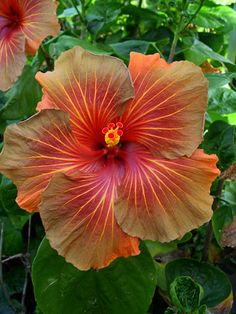 Tahitian Hibiscus 'B Beautiful gorgeous pretty flowers Tropical Flowers, Hibiscus Flowers, All Flowers, Exotic Flowers, Amazing Flowers, My Flower, Colorful Flowers, Beautiful Flowers, Beautiful Gorgeous