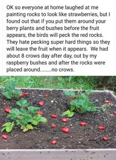 Greenhouse Gardening, Gardening Tips, Strawberry Beds, Raspberry Bush, Well Images, Berry Plants, Plant Pests, Stupid People, Me As A Girlfriend
