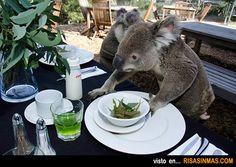 Koala desayunando.