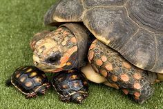 ♥ Pet Turtle ♥ red footed tortoise Mom & babies.