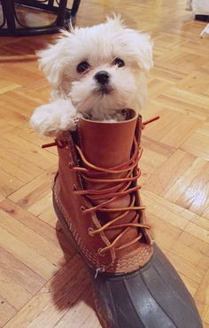 teeny tiny tucker the maltese puppy in an L.L. Bean Bean Boot!!!!! The cutest little munchkin ever #DogObedienceTipsandAdvice