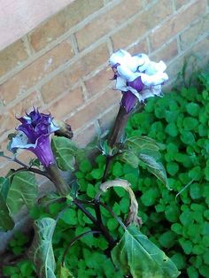 Purple and White trumpets
