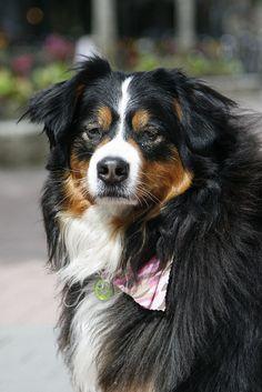 Whistler dog by nickthomas photography, via Flickr #whistler  #whistler dogs #dogs  #cute dogs