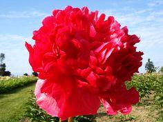 Brooks Gardens Peonies — peony plant red peonies
