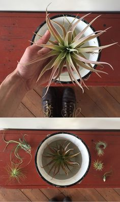 How to water an air plant - the monthly soak. Learn everything you need to know about air plant care on the Care Blog!